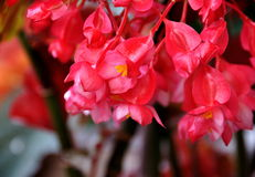 Begonia. Gorgeous begonia flower close-up Stock Photo