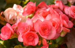 Begonia grande roja Fotos de archivo libres de regalías