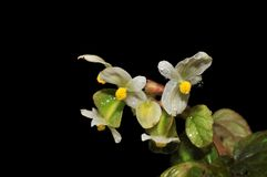 Begonia. Have white flower Royalty Free Stock Images
