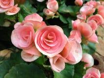 Begonia hermosa Imágenes de archivo libres de regalías