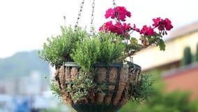 Begonia het hangen in een pot op Kobe Street stock footage