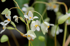 Begonia x hybrida, Baby Wing White flower with yellow stamen in Stock Photo