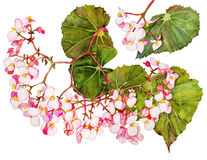 Begonia i blomning stock illustrationer