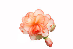 Begonia isolata Immagini Stock Libere da Diritti