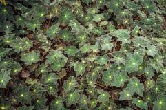 Begonia Kimbrook Royalty-vrije Stock Foto
