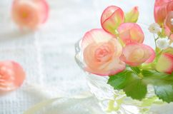 Begonia kwiat Obrazy Stock