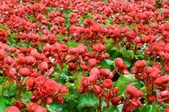 Begonia kwiat Fotografia Stock