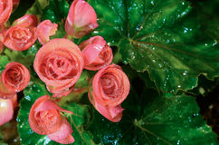 Begonia kwiat Obrazy Royalty Free