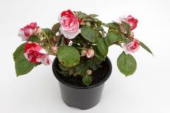 begonia Begonia kwiat z zielenią opuszcza w garnku na białym tle dla sprzedaży, dekoraci lub prezenta, motyla opadowy kwiecisty k Zdjęcia Stock