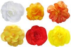 Begonia kwiatu set Fotografia Stock
