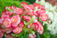 Begonia kwiatu tło Fotografia Stock
