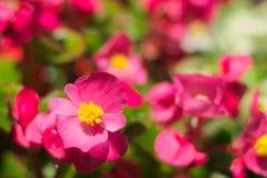 Begonia kwiaty Fotografia Stock