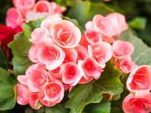 Begonia kwitnie w ogródzie, Piękny tło Obraz Stock