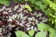 Begonia leaf Stock Images