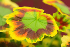 Begonia leave Stock Photos