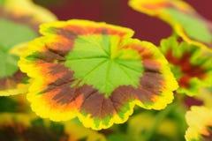 Begonia leave Stock Photos