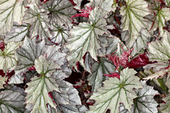 Begonia leaves Stock Photos