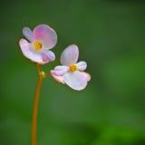 Begonia leslie lynn Stock Images