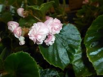 Begonia. Light pink begonia flower on green background Stock Image