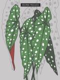 Begonia Maculata Wightii, begônia da truta ou ilustração manchada do vetor da planta tropical da floresta úmida de Dot Begonia da ilustração stock