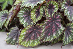 Begonia - Malująca paleta Fotografia Royalty Free