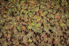 Begonia maphil Royalty-vrije Stock Foto