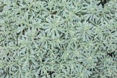 Begonia Masoniana Pattern colorida bonita foto de stock