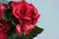 Begonia met rode bloemen royalty-vrije stock foto's