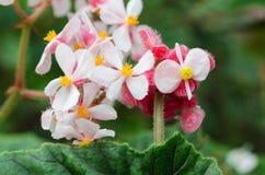 Begonia metallica Στοκ φωτογραφία με δικαίωμα ελεύθερης χρήσης