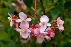 Begonia minor. Or nitida. This variety is the most widespread on Madeira island Royalty Free Stock Images