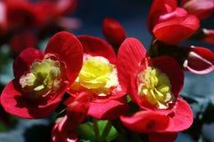 Begonia Multiflora Flamboyant Pequeno-florescida fotos de stock