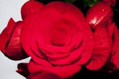 Begonia, namiętny czerwony kwiat Obrazy Royalty Free
