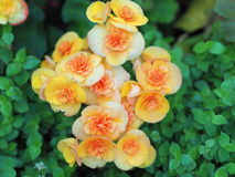 Begonia Royalty Free Stock Photography