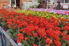 Begonia in negozio per coltivazione della serra dei fiori dell'interno Fotografia Stock Libera da Diritti
