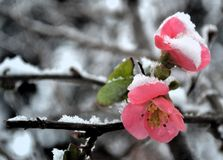 Begonia o chaenomeles Fotografie Stock Libere da Diritti