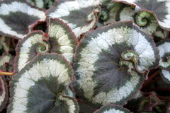 Begonia ´Olympica´ Stock Fotografie