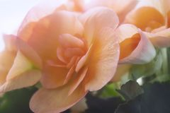 Begonia para el fondo imagenes de archivo
