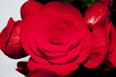 Begonia,passionate red flower Royalty Free Stock Images