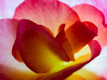 Begonia Petals Macro Stock Foto