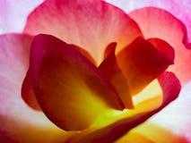 Begonia Petals   Macro Stock Photo