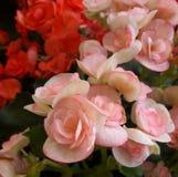 Begonia. Pink beautiful bloom begonia close up Stock Photo