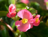 Begonia pink blooms. With center of small yellow anthers are contrasted against vibrant green coloured foliage Royalty Free Stock Images