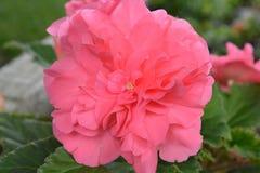 Begonia Pink Flower tuberosa Foto de archivo libre de regalías