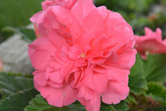 Begonia Pink Flower tuberosa foto de stock royalty free