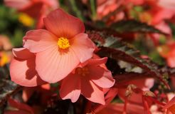 Begonia. A pink Begonia flowering in a garden in the city of Stavanger, Norway Royalty Free Stock Images