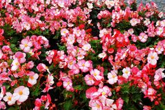 Begonia pink flowers and green leaves background Stock Photography