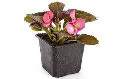 Begonia. Pink young garden wax begonia flowers with leaves, Begonia semperflorens-cultorum, in flowerpot on white background stock image