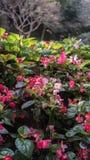 Begonia Plant perpétua em um parque Fotografia de Stock Royalty Free