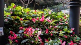 Begonia Plant perpétua em um parque Foto de Stock Royalty Free