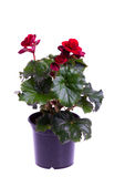 Begonia plant in pot isolated on white Royalty Free Stock Images